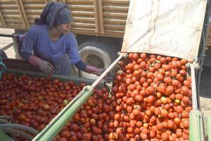 Çine Ovası'nda yaklaşık 3 bin dönümlük alana ekilen salçalık domates hasadına başlandı.